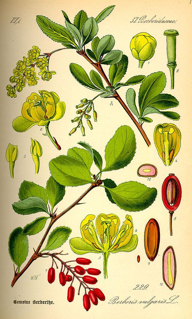 borbolya-Berberis-vulgaris