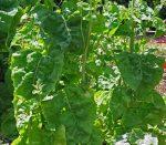 laboda-(atriplex-hortensis)-zold